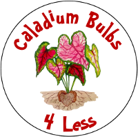 Caladium Bulbs 4 Less