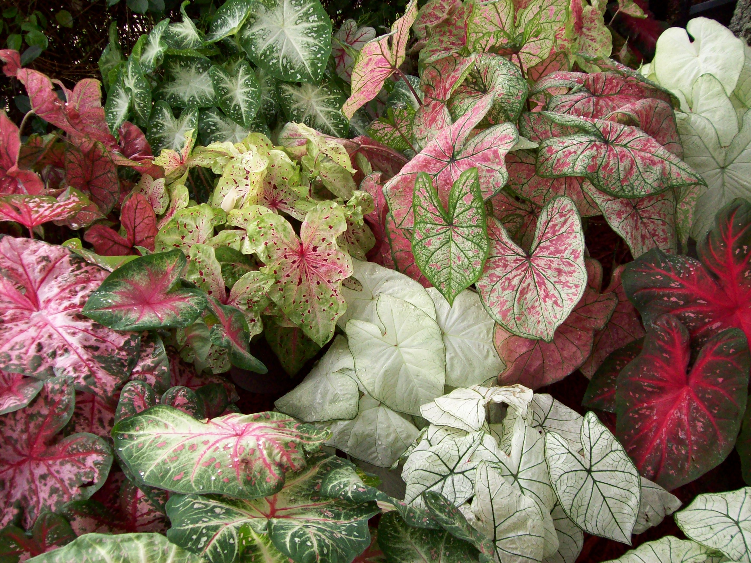 Caladium Bulbs by the Pound - Rainbow Mix Assortments Start at $12.95