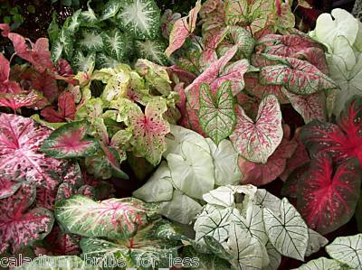 10 Grade #1 Mixed Fancy Leaf Caladium Bulbs