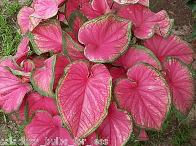 10 Grade 1 Florida Sweetheart Strap Leaf Varities Lot Of 10