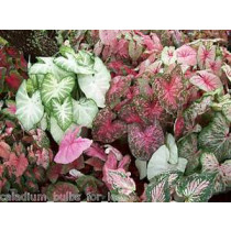 100 Grade #1 Mixed Red Caladiums