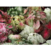25 Mixed Fancy Leaf Caladium Bulbs