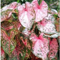 50 Grade #1 Pink Beauty