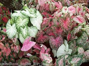 25 Grade #1 Mixed Red Caladiums