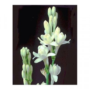 Double Pearl Tuberose Clumps